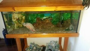 4ftx2ft Tank with two large Oscars and two large ship ornaments Eli Waters Fraser Coast Preview