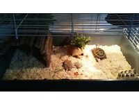 2 Russian/ Horsefield Tortoises with luxury enclosure