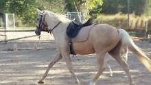 2 horses for sale palomino gelding and buckskin mare Morayfield Caboolture Area Preview