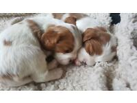 Cavalier King Charles Blenheim Puppies for sale