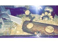 Dwarf hamsters x3