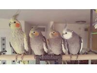 4 cockatiels