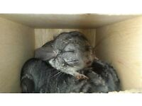 Two male chinchillas looking for new forever home.