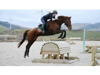 Well bred 16.2hh 8yr old gelding