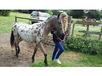 Lovely spotted gelding 2 year old