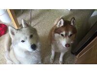 2 male huskies free to good home