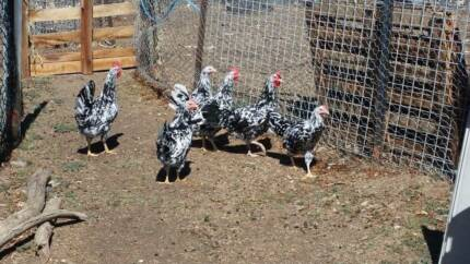 Exchequer Leghorn Exchequer Leghorns For Sale