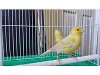 Red eye satinet and many colour & type single & pair canary birds and cage sale