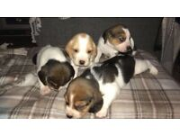 Pure Bred Beagle Pups