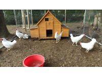 white leghorn chicken