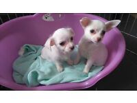 Two Chinese Crested (Powder Puff ) puppies . Both boys