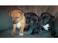 puppies staffies