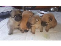 Pomeranian puppies for sale...