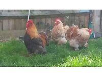 2 Pekin Bantam Rooster for Sale in London