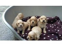 Cavachon Puppies Hypo-allergenic