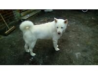 Adult male pure-bred japanese akita for sale due to personal circumstances. full kc paperwork.