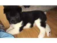 1 male American Akita puppie left for sale