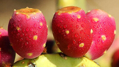 RARE NOPAL RED FRUIT nopalina nopalea edible cactus sweet juice seed 50 SEEDS for sale  Shipping to Canada