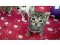 Gorgeous & Affectionate Half-Bengal Kittens TWO LEFT - £140 Each