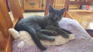 Stanley - KITTEN KAPERS RESCUE Cleveland Redland Area Preview