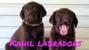 Pedigree Labrador Puppies. Ready Now