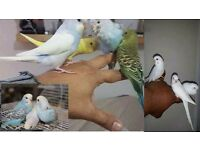 Budgies Semi-tame regular and exhibition many colour birds and cage