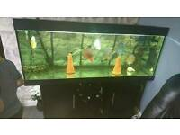 5 ft fish tank, FX6 and large discus