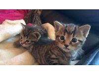 beautiful bengal kittens (ONLY ONE LEFT!!!)