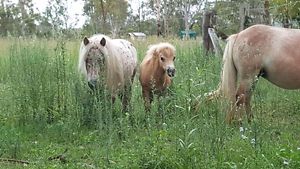 Bundle of Ponies For Sale!! BEST OF HOMES ONLY Delaneys Creek Moreton Area Preview