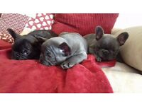 chunky french bulldog pups READY NOW ****only 2 left****