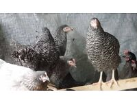 coucou maran hens / chicken for sale