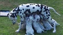 Dalmatian puppies, pure bred. Cardup Serpentine Area Preview