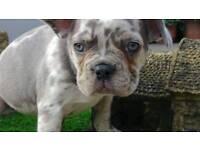 Lilac Merle French Bulldog