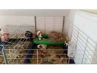 3 Female Guinea Pigs