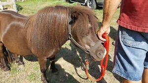 Mini horse gelding