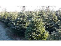 Christmas trees real cast free all sizes Nordmann fir