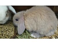 Two gorgeous mini lops does approx 1 year old one in the picture and one grey