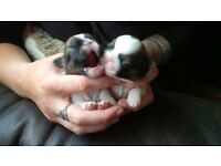 Beautiful Shih-tzu tri-colour puppies only two girls left £450.00