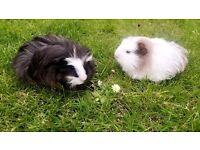 3 female Guinea Pigs