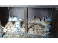 lovey baby rex rabbits