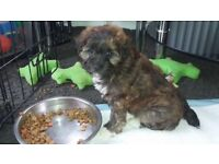 Rare breed. Lhasa apso x poodle puppies