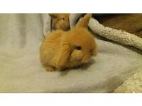 Mini Lop Kits