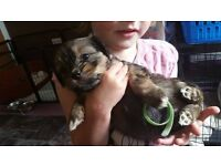 3 KC Lhasa Apso Girl puppies for sale from litter of 8