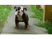 Olde English Bulldog Pups Ready Now