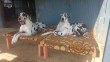 GREAT DANE BEDS MADE BY LOCAL BOY WITH CARPET, CRATES & CREATIVITY!!! Shailer Park Logan Area Preview