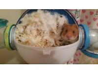 Syrian Hamster & cage for sale