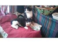 2 beautiful black and white cats....free to a good home