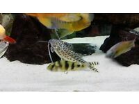 Beautifull large tropical spotted pictus catfish