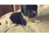 Adorable Puppies miniture jackrussel for sale can be sold in two weeks time