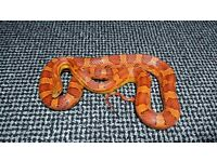 *ONO* Corn snake And Accessories (4ft long, 3/4 years old)